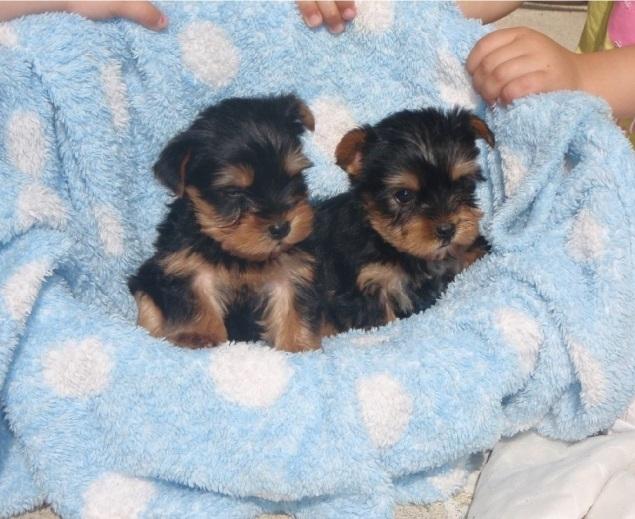 Teacup Yorkie Puppies Availabl Image eClassifieds4u