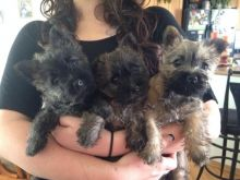Cairn Terrier puppies Available