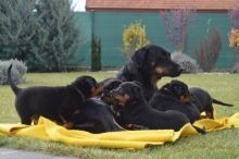 Cute Beauceron Puppies Available