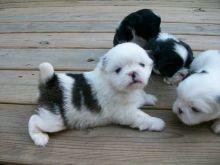 Cute Pekingese Puppies Available,