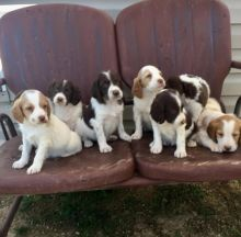 Registered Brittany Spaniel puppies available