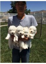 Snow white Samoyed Puppies available
