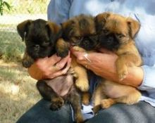Brussels Griffon puppies ready