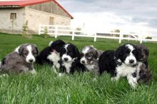 Cute Aussiedoodle Puppies Available