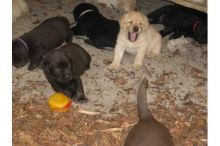 Cute Labrador Retriever Puppies Available