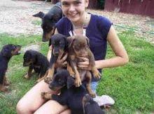 Miniature doberman pinscher puppies ready