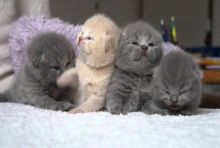 Excellent Scottish fold Kittens Available Image eClassifieds4U