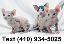 Cute sphynx kittens searching for new homes!!
