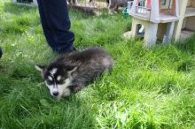 Loyal, And Playful Alaskan Malamute Puppies For Good Homes