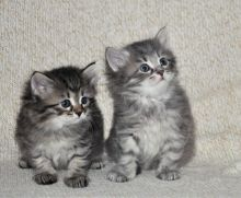 Super adorable Siberian kittens.