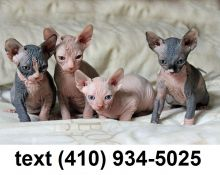 Adorable sphynx kittens for sale.text(410) 934-5025 Image eClassifieds4U