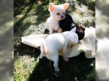 Charming male and female Chihuahua pups for adoption.