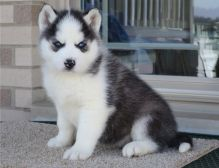 Siberian Husky puppies ready now