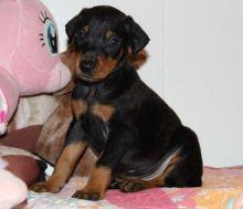 cute Doberman Pinscher puppies