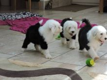 3 Old English Sheepdog pups for sale