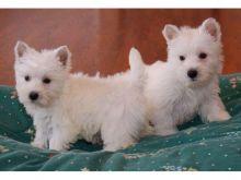 Amazing West Highland White Terrier puppies