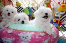 Male and female Maltese puppies available.