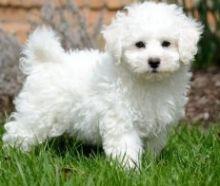 Pure white Bichon Frise Puppies Ready