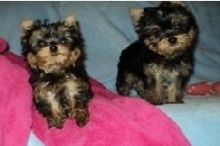 Yorkie puppies ready now