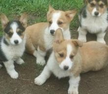 Perfect family Pembroke Welsh Corgi puppies