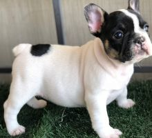 French Bulldog puppies ready