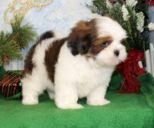 Friendly Lhasa Apso puppies