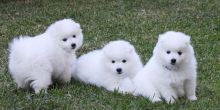 Japanese Splitz puppies
