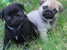 Pug puppies ready