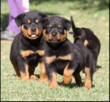Rottweiler puppies with outgoing personalities