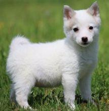 Alaskan Klee Kia puppies
