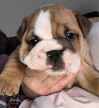 Health Guarantee Male and Female English Bulldog Puppies