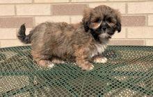 Lhasa Apso puppies for adoption