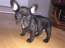 French Bulldog. Puppies For Adoption