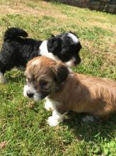 Gorgeous Havanese. Puppies Available
