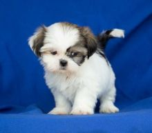 Nice and Healthy Shih Tzu. Puppies Available
