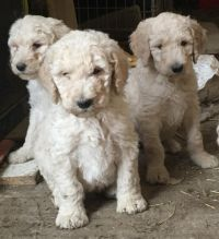 Outstanding Male and Female poodle. puppies