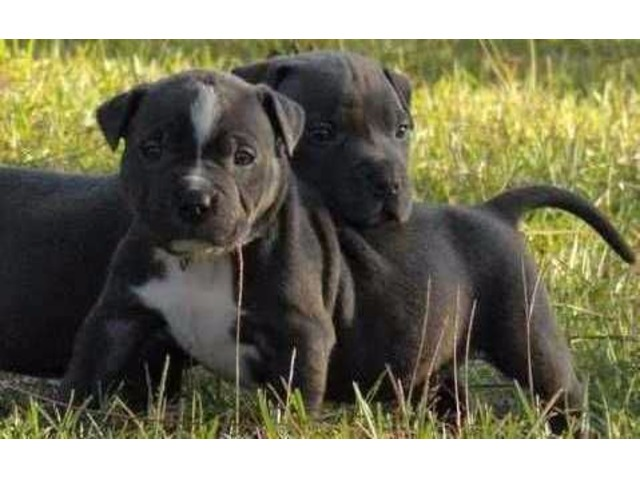 🐕🐕Gorgeous Blue nose American Pitbull terrier puppies available 🐕🐕 Image eClassifieds4u