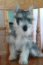 🎄🎄 CKC ☮ Male 🐕 Female 🎄 Miniature Schnauzer Puppies 🏠💕Delivery is possible
