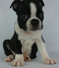 Lovely Pure breed Boston Terrier Puppies for Adoption