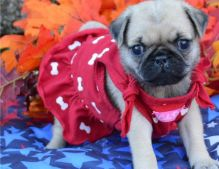 Two Pug puppies available
