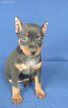 Adorable Miniature doberman pinscher puppies ready