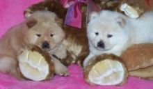 Gorgeous male and female Chow Chow puppies available.