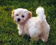 Havanese puppies ready for adoption