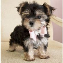Morkie Puppies ready