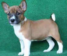 New litter of stunning Basenji puppies
