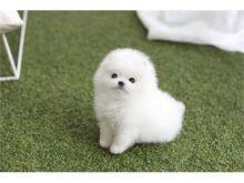 Pomernaian puppies