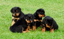 Rottweiler puppies ready now