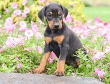 ✔ ✔ CKC ☮ Doberman Pinscher Puppies 🏠💕Delivery is Possible🌎✈�