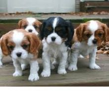Cavalier king charles spaniel Puppies available Email at ( morgangennifer@gmail.com )