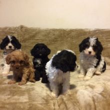 Cavapoo Puppies Available Email at ( lovpau39@gmail.com)